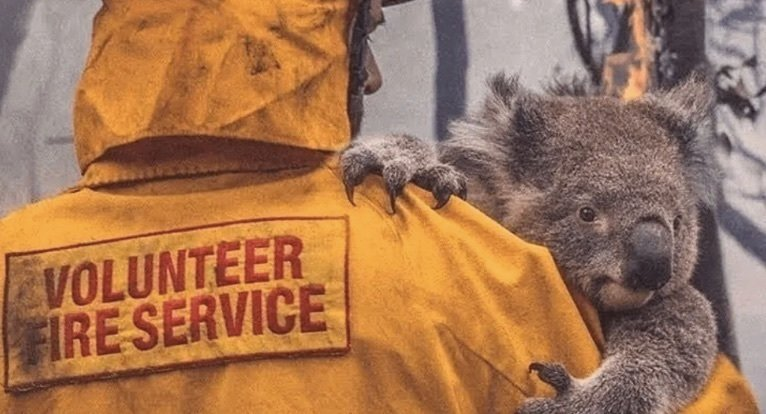 Koalas australianos serán incluidos en lista de especies en peligro de extinción