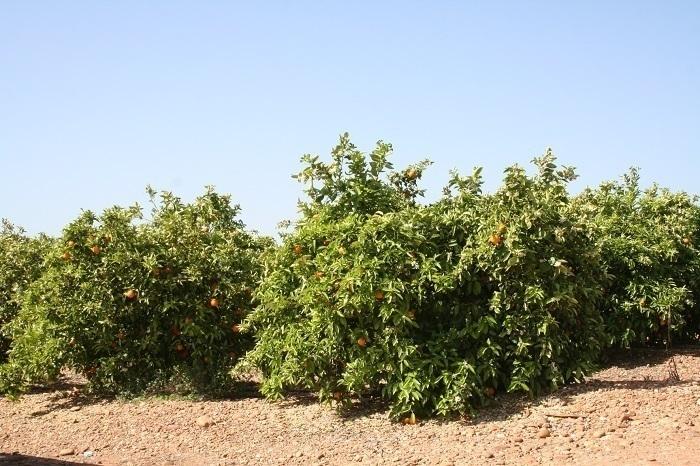 Palma del Río y el Valle del Guadalquivir, respaldados en el sector de la naranja y los cítricos