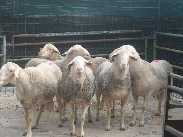 ganado ovino, oveja