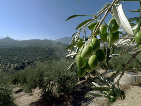 España, responsable de más de la mitad de las exportaciones mundiales de aceite de oliva