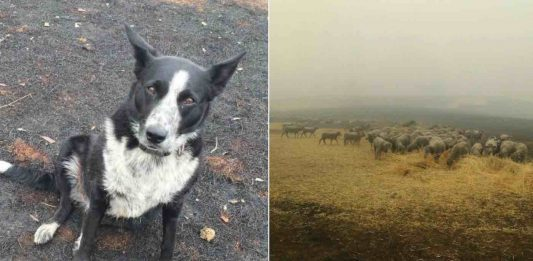 Patsy, el perro que logró salvar a 220 ovejas de las llamas en Australia