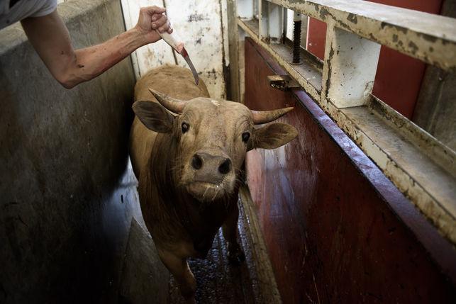 Exigen la instalación obligatoria de cámaras en mataderos tras denunciar la electrocución de animales conscientes